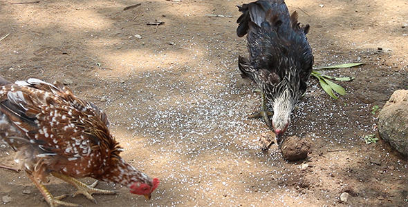 Chickens Eating Seeds