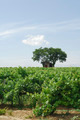 Vineyard in Languedoc-Roussillon (France) - PhotoDune Item for Sale