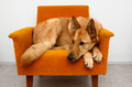 brown dog lying in the orange chair - PhotoDune Item for Sale