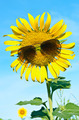 Smiley Sunflower wearing sunglasses under blue sky - PhotoDune Item for Sale