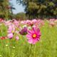 Cosmos flower in garden - PhotoDune Item for Sale