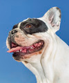 portrait of young bulldog - PhotoDune Item for Sale