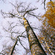 Bottom View Of Tree Tops In The Autumnal Forest 2 - VideoHive Item for Sale
