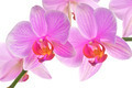 Pink orchid isolated on white background - PhotoDune Item for Sale