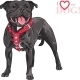 Staffordshire Bull Terrier Breed - GraphicRiver Item for Sale