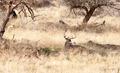 A Young Male Deer Buck Lays in the Shade - PhotoDune Item for Sale