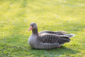 Greylag goose, Anser anser - PhotoDune Item for Sale