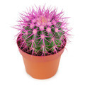 cactus in a pot isolated on white background - PhotoDune Item for Sale