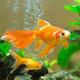 Few goldfishes swim in an aquarium. - PhotoDune Item for Sale