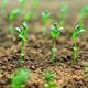 Close-up of young green sprouts growing out of soil. - PhotoDune Item for Sale