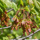 Red Maple Seed Clusters - PhotoDune Item for Sale
