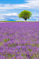 View of Lavender field with tree in Provence - PhotoDune Item for Sale