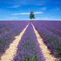 View of Lavender field with tree and blue sky - PhotoDune Item for Sale