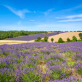 View of Lavender field in Provence - PhotoDune Item for Sale