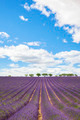 Lavender field with trees in Provence - PhotoDune Item for Sale