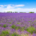 View of Lavender field with trees in Provence - PhotoDune Item for Sale