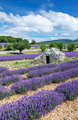 View of Lavender field and blue sky - PhotoDune Item for Sale