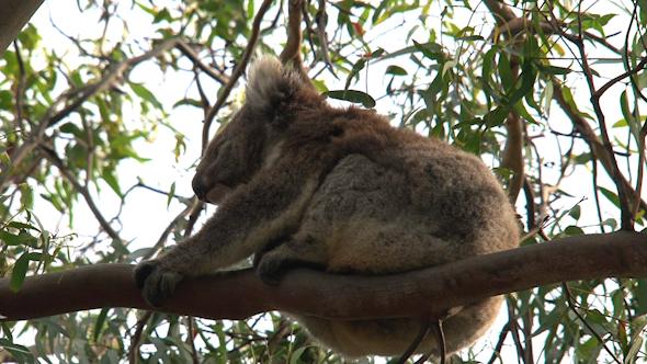 Koala 011