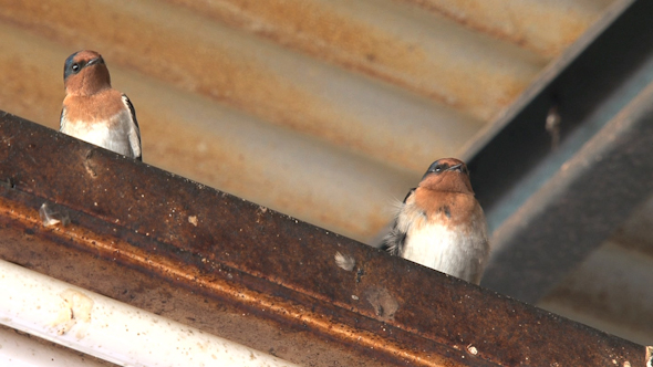 VideoHive Swallow 014 10071661