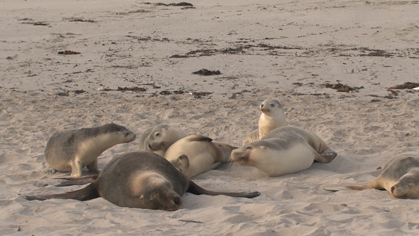 VideoHive Sea Lion 01 10071681