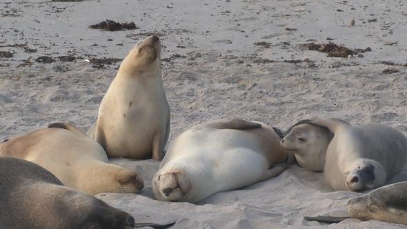 VideoHive Sea Lion 016 10071749