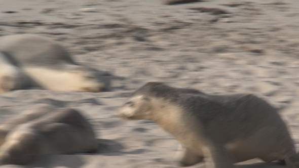 VideoHive Sea Lion 02 10071771