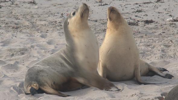 VideoHive Sea Lion 027 10071850