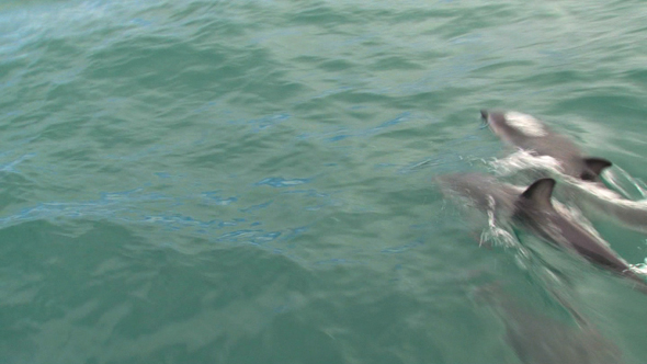 VideoHive Dusky Dolphins 2 10071875