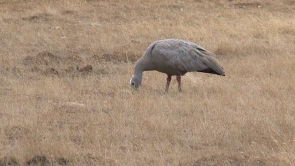 VideoHive Goose 02 10071982