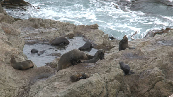 VideoHive Seals In New Zealand 18 10072652