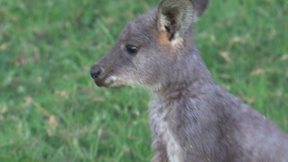 Wallaby 03 3
