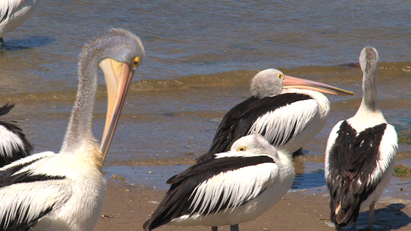 Pelican 067