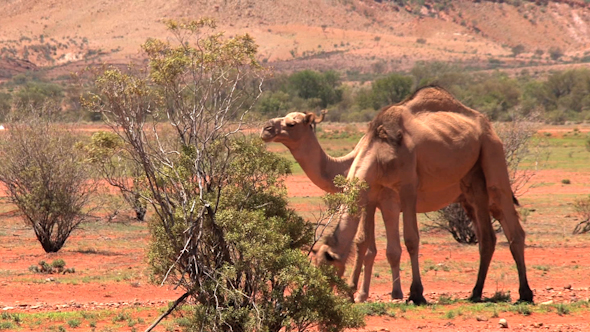 VideoHive Camel 01 10073362