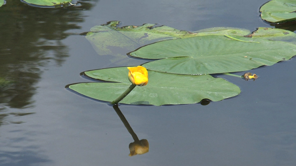 VideoHive Yellow Waterlily 10073375
