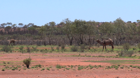 VideoHive Camel 05 10073424
