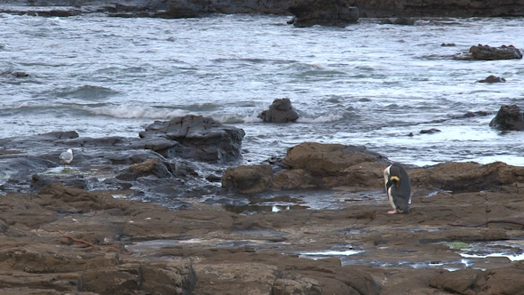 VideoHive Yellow-Eyed Penguin 32 10073529