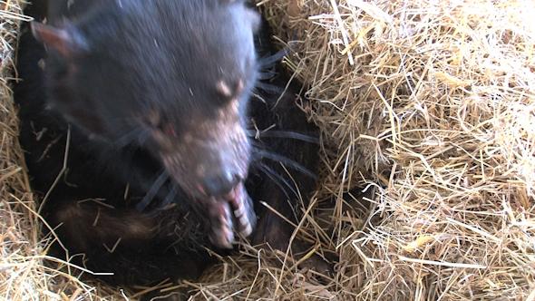 Tasmanian Devil 05