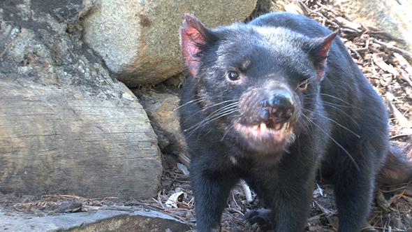 VideoHive Tasmanian Devil 051 10074240