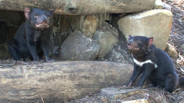 VideoHive Tasmanian Devil 052 10074248