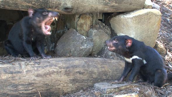VideoHive Tasmanian Devil 053 10074278