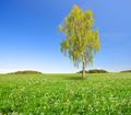 Birch tree  - PhotoDune Item for Sale