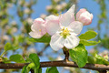 Detail blooming apple tree branch - PhotoDune Item for Sale