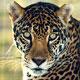 Jaguar_tom2