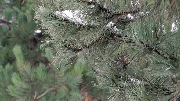 Pine Branch with Melting Snow