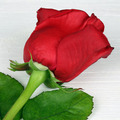 Rose flower on birthday, Valentine's or mother's day