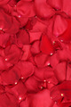 Background from petals of red roses on wedding, Valentine's and mothers day