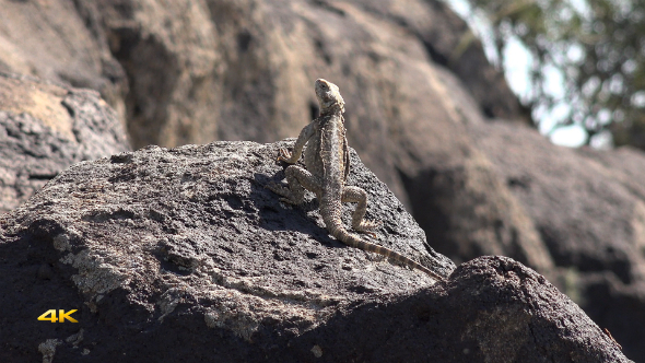 VideoHive Spiny Reptile 4 10101007