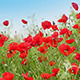 Red Poppy Flowers - VideoHive Item for Sale