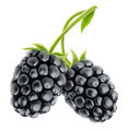 Blackberries - PhotoDune Item for Sale