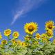 Sun flower in garden - PhotoDune Item for Sale